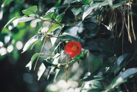 거제도동백섬-지심도-동백꽃-겨울에피는꽃-꽃