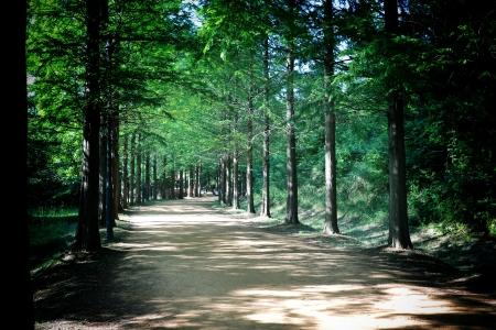 메타세콰이아-숲-수목원-산림-금강수목원