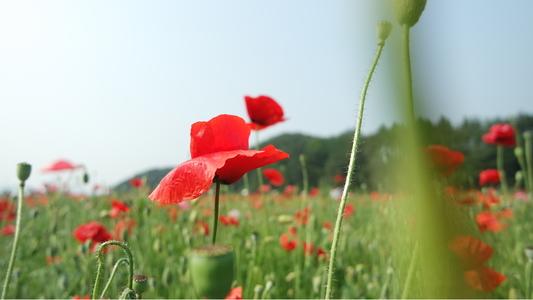 양귀비-양귀비꽃-꽃축제-꽃-꽃사진