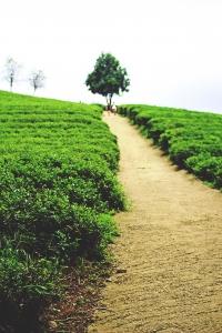보성-녹차밭-초록-여름-아련